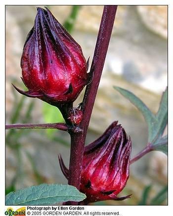 Суданская роза. полезные свойства каркаде