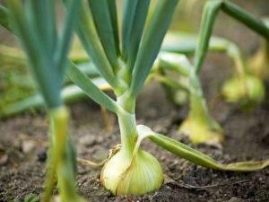 Замачивание лука перед посадкой – особенности применения соды, марганцовки, соли, нашатыря, медного купороса, золы и других средств