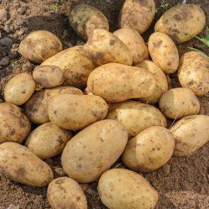 40 сортов картофеля для пюре, жарки, запекания и картошки фри