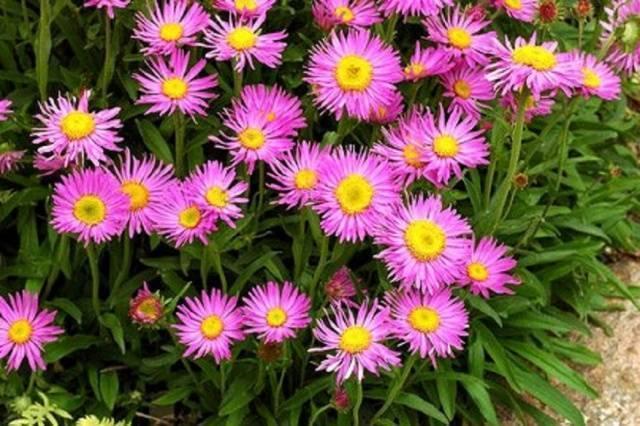 Многолетние цветы для сибири — фото и названия
