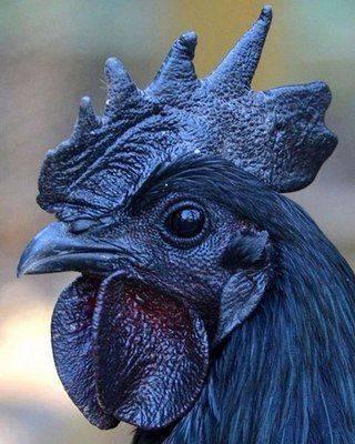 Породы кур: описание, названия, особенности, классификация и 115 фото самых популярных пород