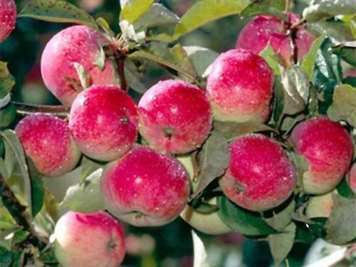 Сорт яблони слава победителям: описание и подробная характеристика, особенности выращивания