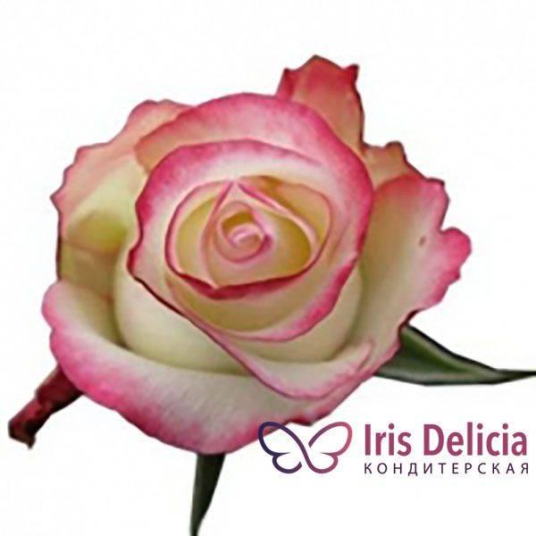 Как выращивать чайно-гибридную розу циркус из группы флорибунда: описание сорта