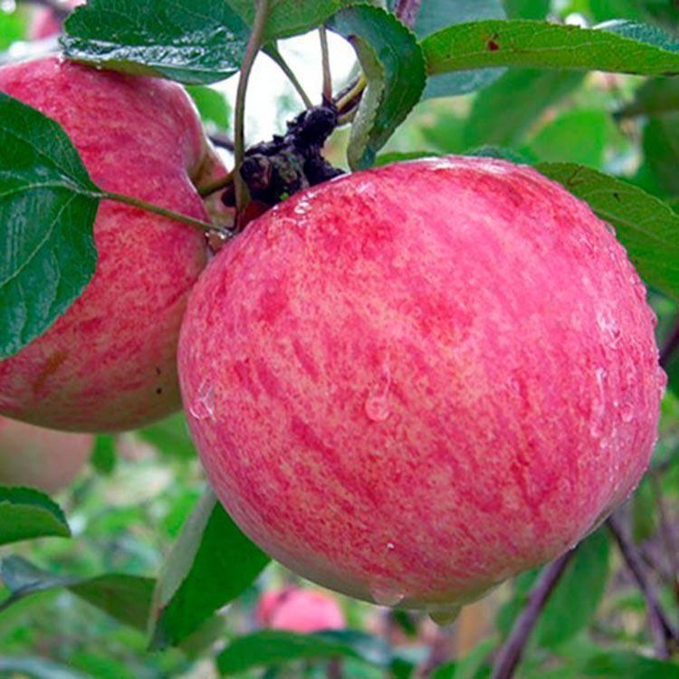 Яблоня грушрвка московская: описание сорта и фото, особенности выращивания и характеристики