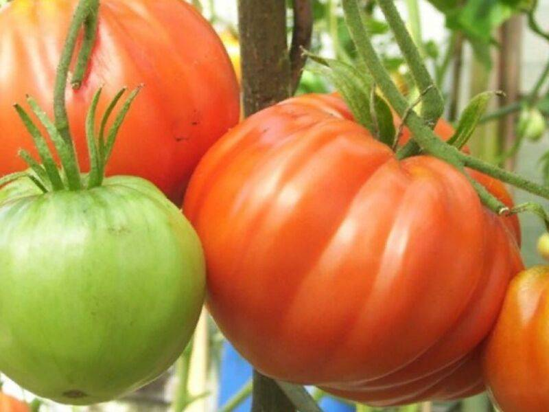 Урожайные сорта помидоров для парников и теплиц