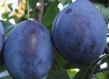 Слива венгерка — самые вкусные и урожайные сорта