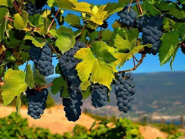 Описание сорта винограда макси белый
