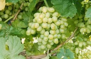 Виноград восторг красный: описание сорта и фото, история селекции, борьба с вредителями и болезнями