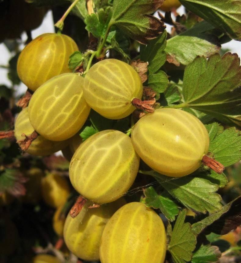 О крыжовнике Янтарном: описание и характеристики сорта, уход и выращивание