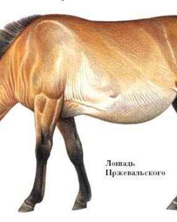 Лошадь • описание, фото, особенности питания, распространение