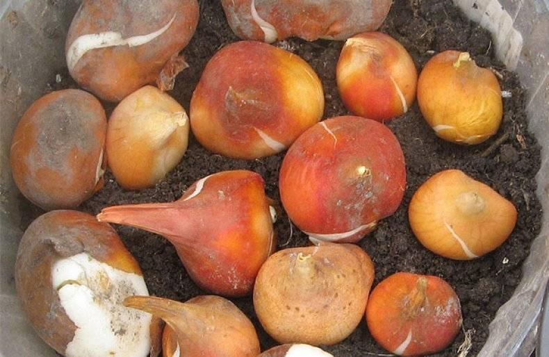 Хранение луковиц тюльпанов зимой