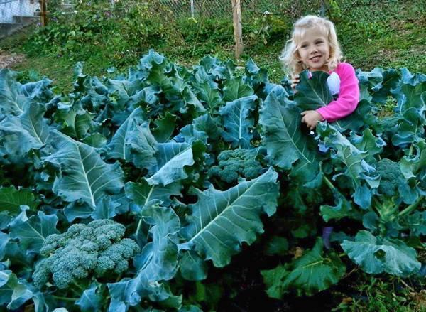 Как вырастить рассаду кольраби