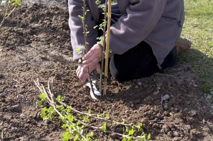 Как правильно посадить или пересадить чёрную смородину