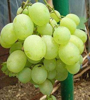 Сорт винограда «кеша» — отзывы. негативные, нейтральные и положительные отзывы