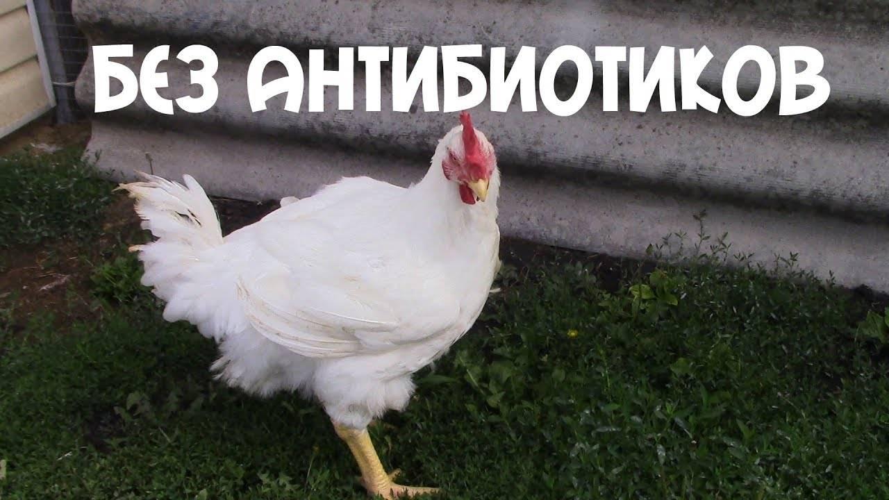 Статьи по кормлению кур на picainfo| применение ферментативного пробиотика в кормлении цыплят-бройлеров