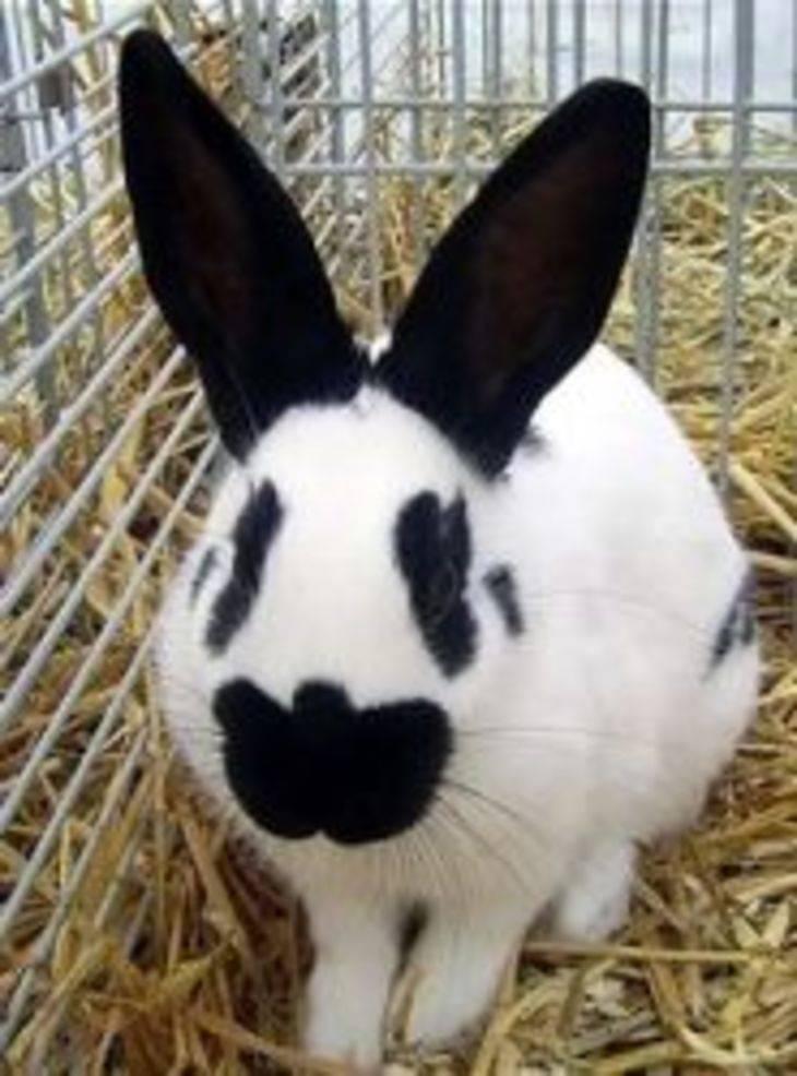 Разведение декоративных кроликов: выбор породы, уход, кормление, рентабельность бизнеса