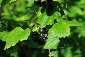 Смородина не плодоносит, какие причины и что делать? как правильно посадить и ухаживать за смородиной, чтобы она плодоносила регулярно