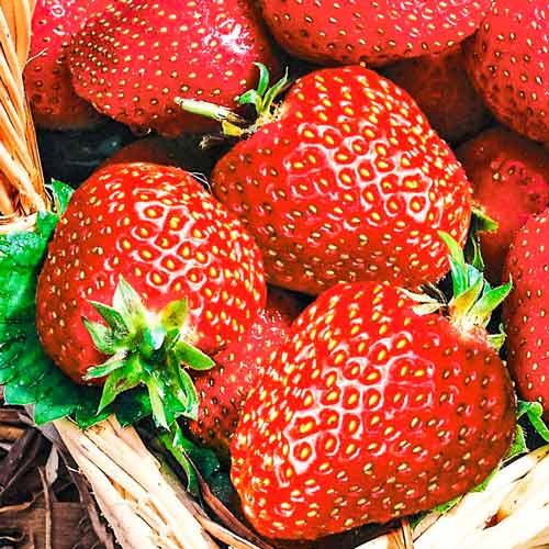 Клубника фестивальная: описание сорта, особенности, отзывы, советы по выращиванию и характеристика (85 фото)