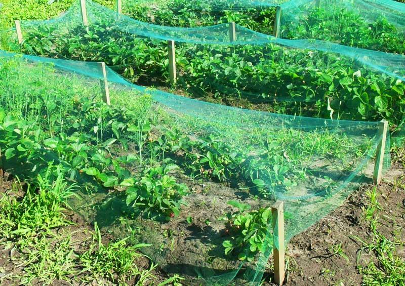 Как защитить клубнику от птиц – каких вредителей стоит опасаться, способы защиты урожая