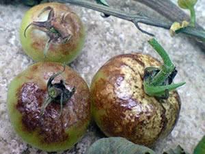 Болезни томатов: фото, описание, способы борьбы