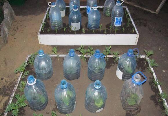Выращивание огурцов в пялитеровых бутылках: на балконе и в тепице