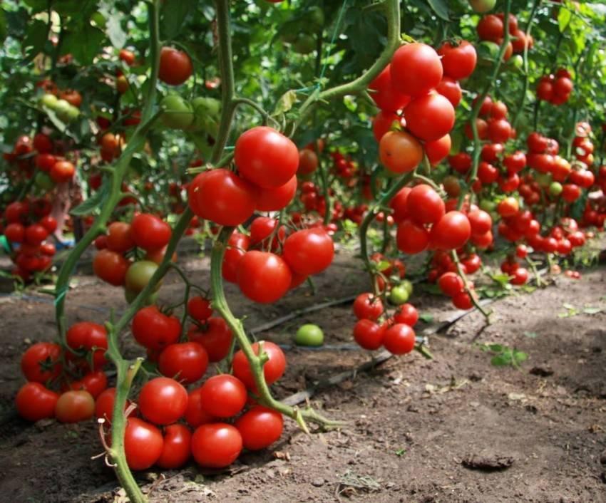 Подкормка помидоров в открытом грунте — лучшие удобрения для томатов