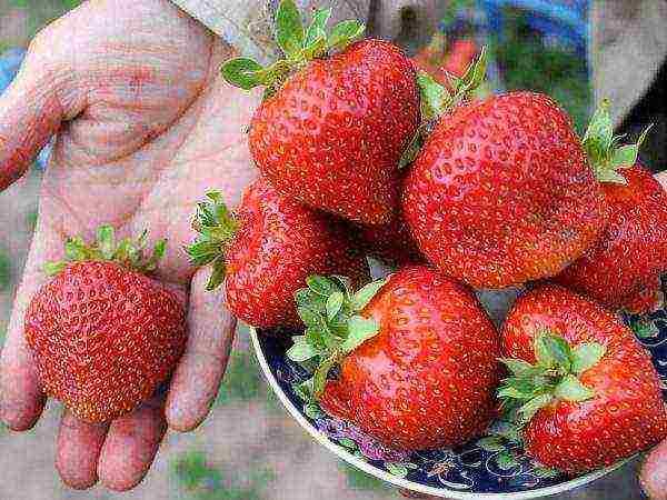 О клубнике дивная: описание сорта, агротехника посадки и выращивания