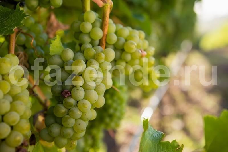 Как ухаживать за виноградом после посадки весной: в первый год, второй год
