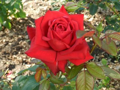 История возникновения и особенности выращивания чайно-гибридных роз. названия и фото популярных сортов