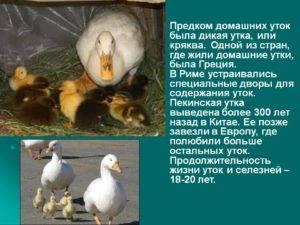 Бройлерные утки: виды, достоинства и недостатки, уход, размножение