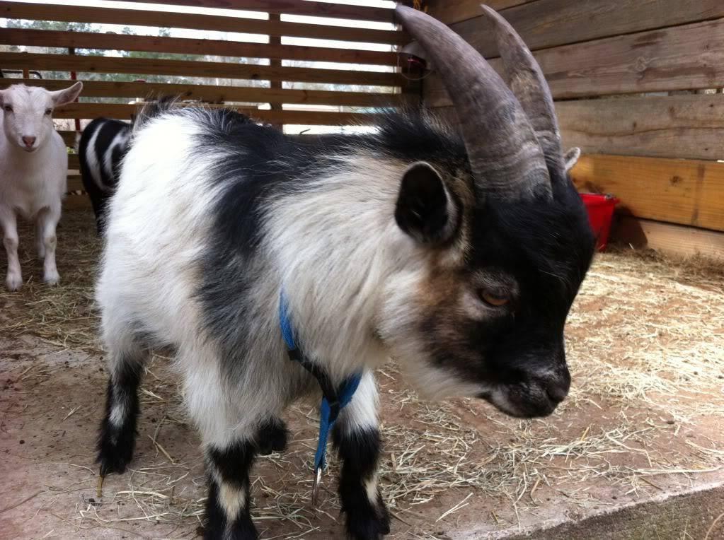 Высокоудойные молочные породы коз без запаха