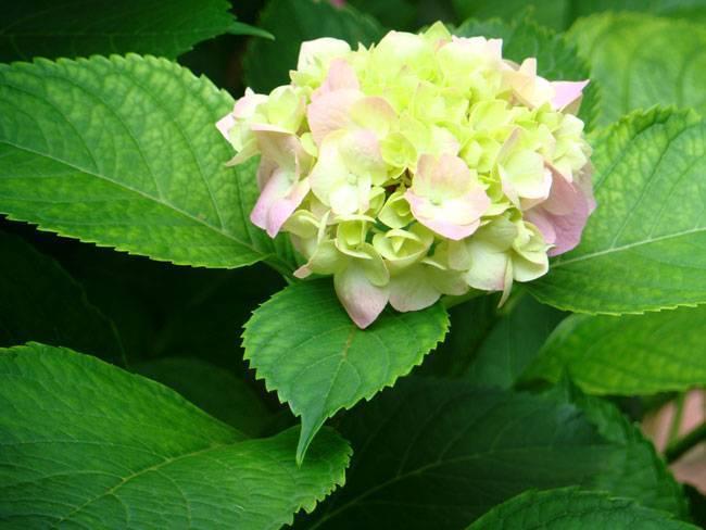 Почему у гортензии мелкие соцветия — причины и способы решения проблемы