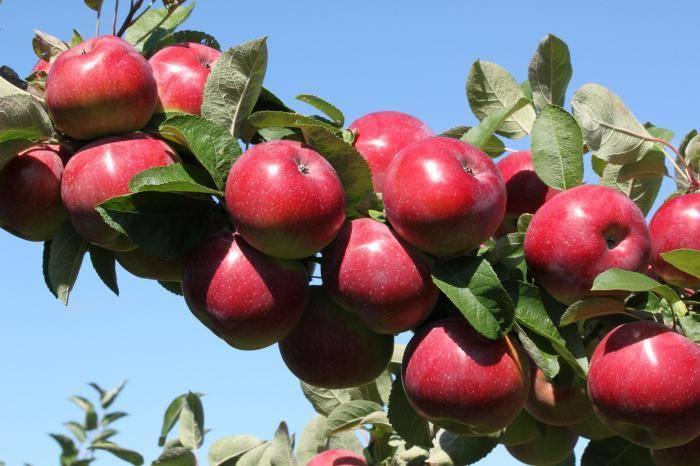 Анисовые яблоки.
