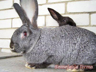 Серый великан и белый — в каком возрасте скрещивание породы кроликов