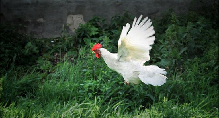 Как правильно и безболезненно обрезать крылья курам и другим домашним птицам, чтобы они не летали? - общая информация - 2020