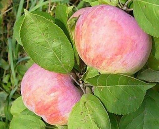 О яблоне Орловим: описание и характеристики сорта, посадка и уход