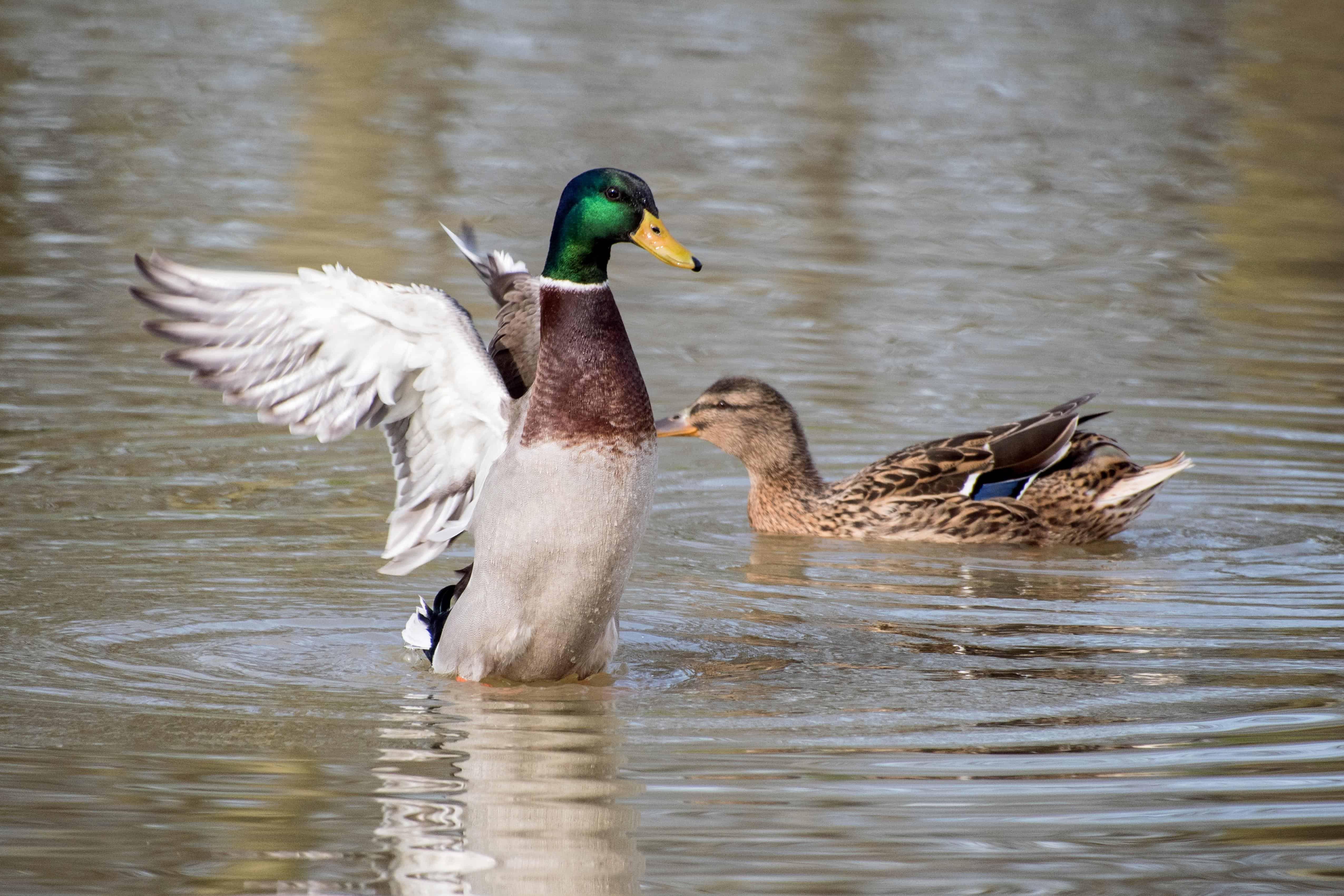 Дикие утки: виды, чем кормить и как развести?