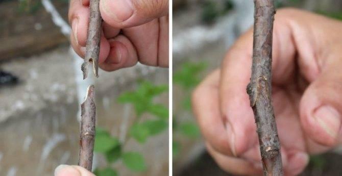 Узнаем, как выращивать яблоню из семечка: все для успешного опыта