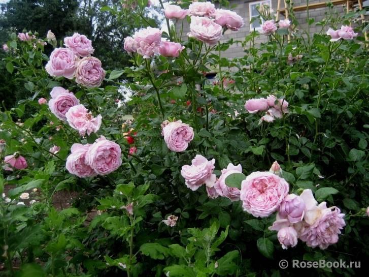 Роза спирит оффридом (spirit offreedom)