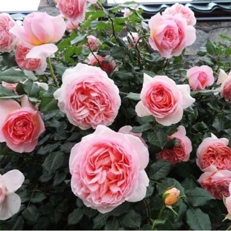 Английская роза абрахам дарби — блики кипящего металла