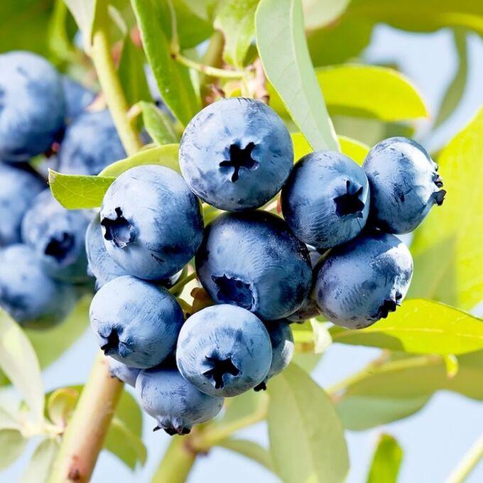 Голубика сорта джерси: описание сорта, посадка, уход за садовым кустом