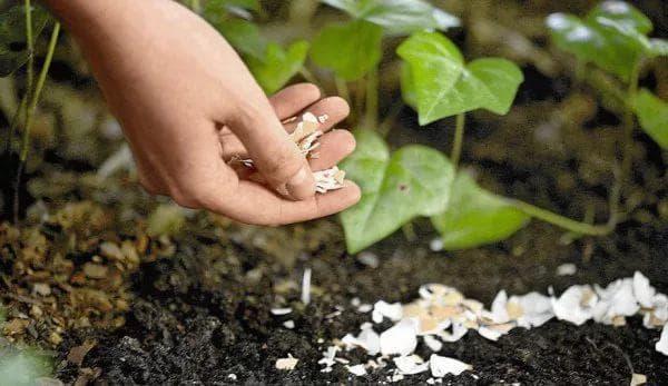 Борьба с проволочником на картофельном участке, как избавиться, средства