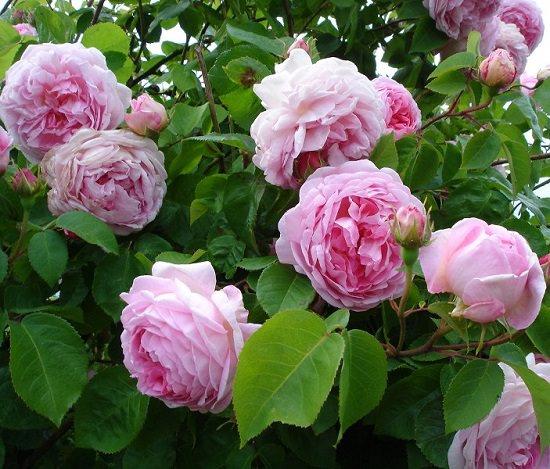 Лучшие сорта роз для подмосковья: характеристики, советы по выбору и уходу