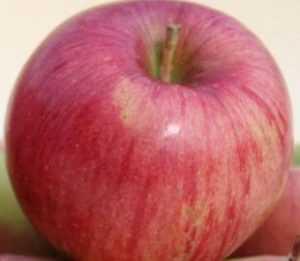 Ботаническое описание и особенности выращивания яблони сорта мутсу