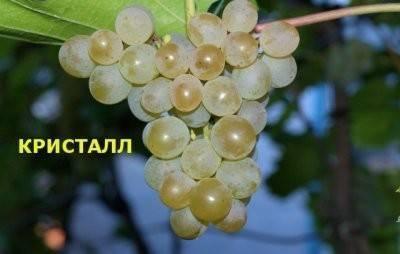 Виноград кристалл: описание сорта, фото, отзывы, видео