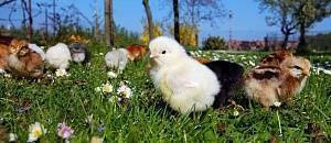 Цыпленок - рецепты