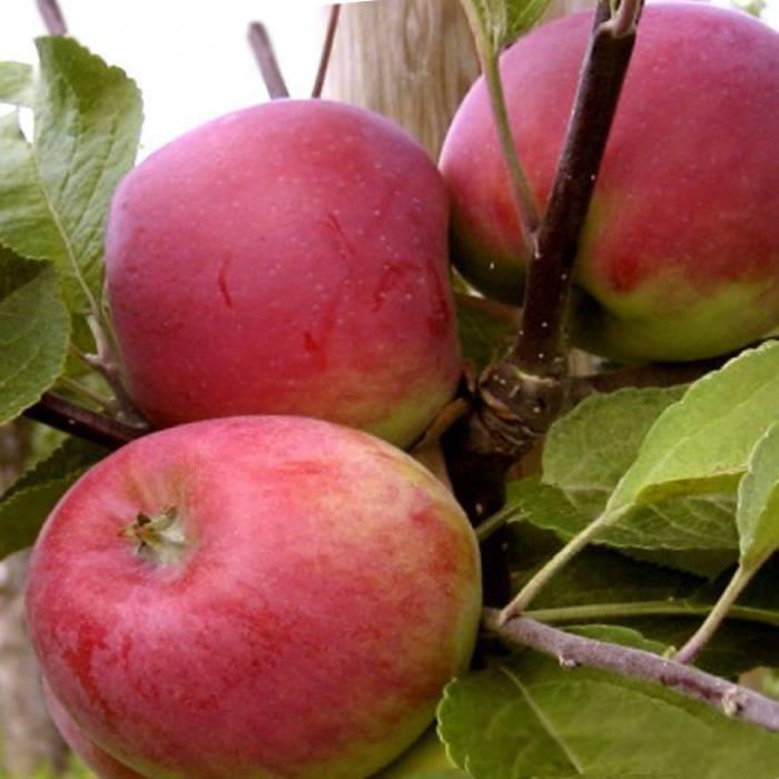 Великолепный эмигрант из канады — сорт яблони «мантет»