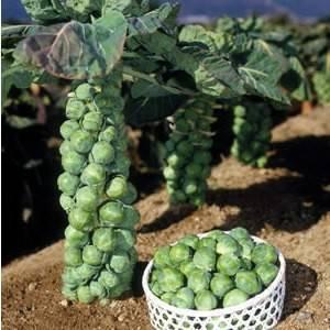 Как выращивать рассаду капусты брюссельской своими руками?
