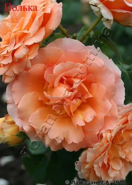 Плетистая роза полька фото и описание отзывы