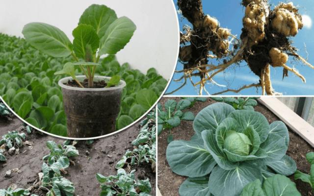 Что такое кила капусты и как избежать этой болезни